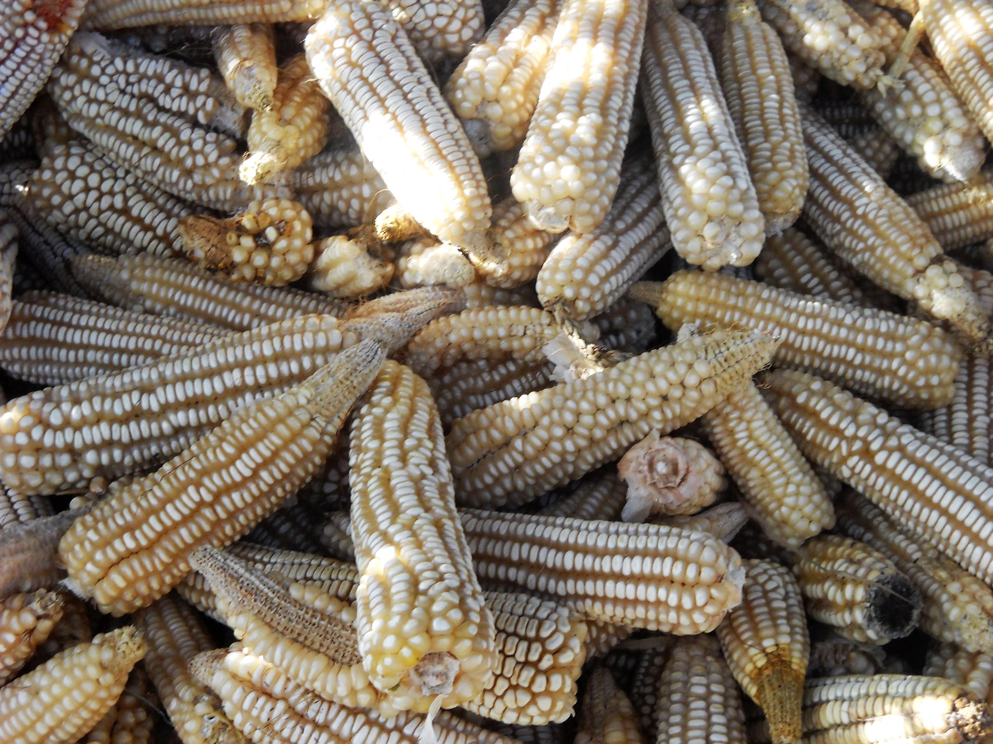 Pannocchie di mais bianco