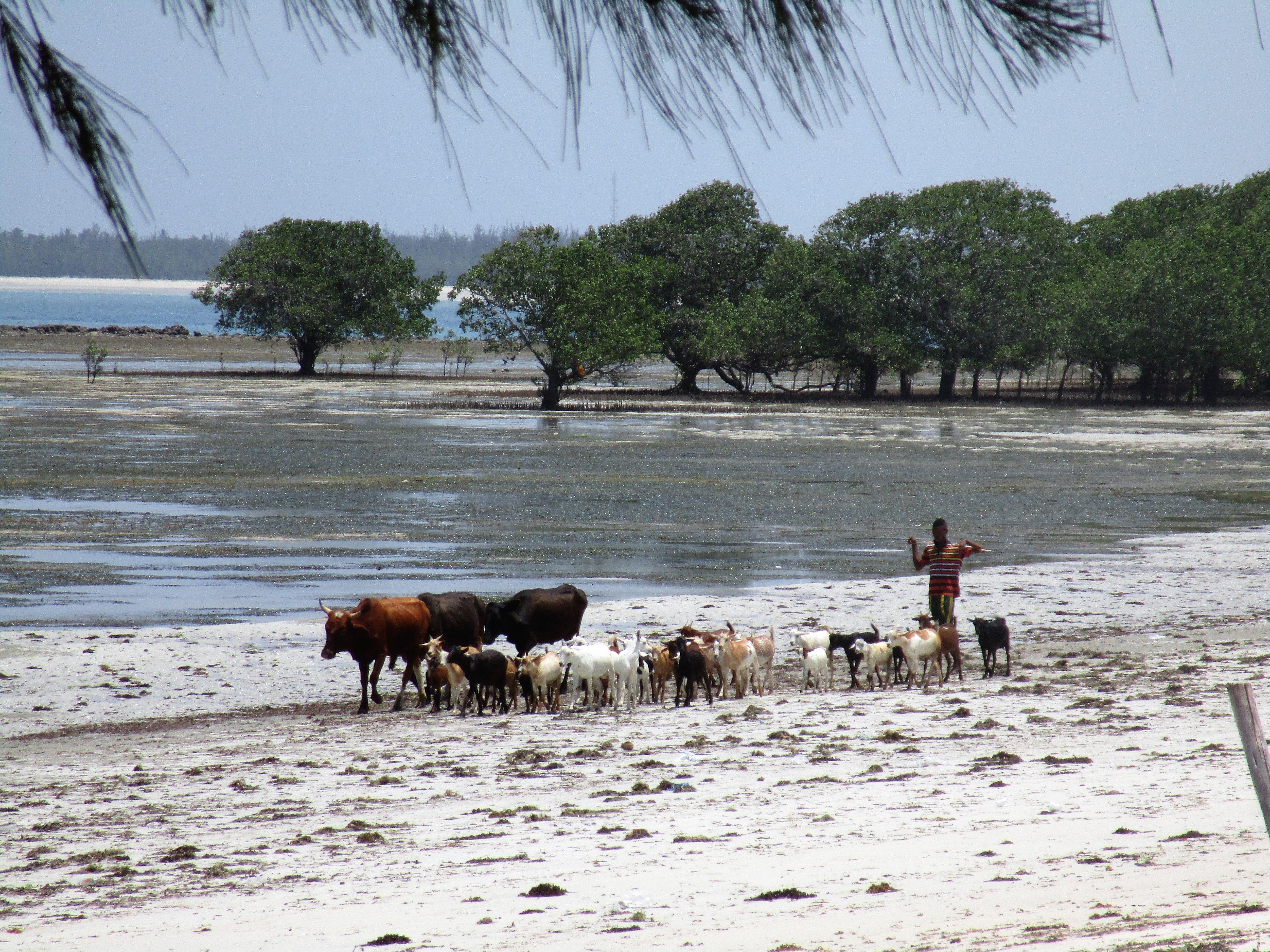 Mucche al pascolo sulla spiaggia di Kigamboni in Tanzania